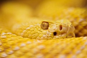 Albino Rattlesnake Wallpaper Background