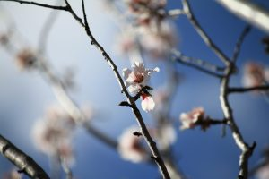 Almond Tree Flower Wallpaper 4K 5K