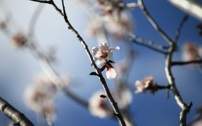 almond tree flower wallpaper 4k 5k background