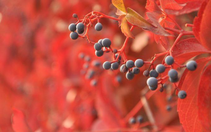 autumn berries wallpaper 4k background