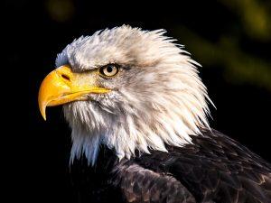 Bald Eagle 4K Wallpaper