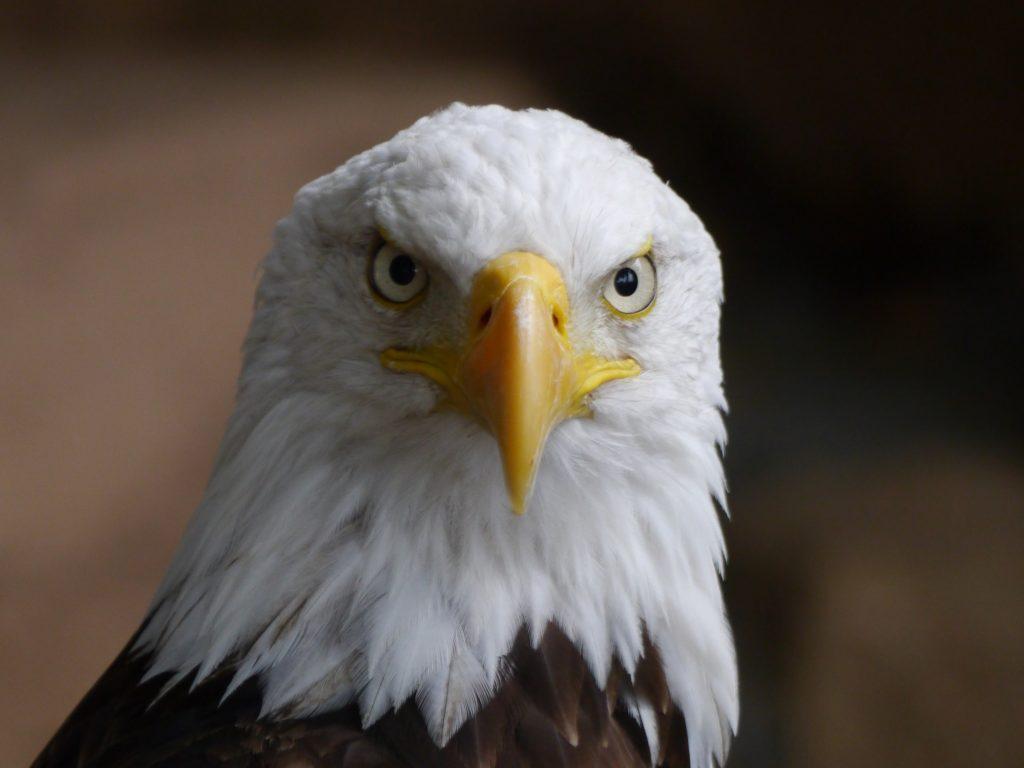 Bald Eagle Wallpaper 4K Background | HD Wallpaper Background