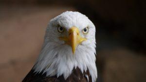 Bald Eagle Wallpaper 4K Background