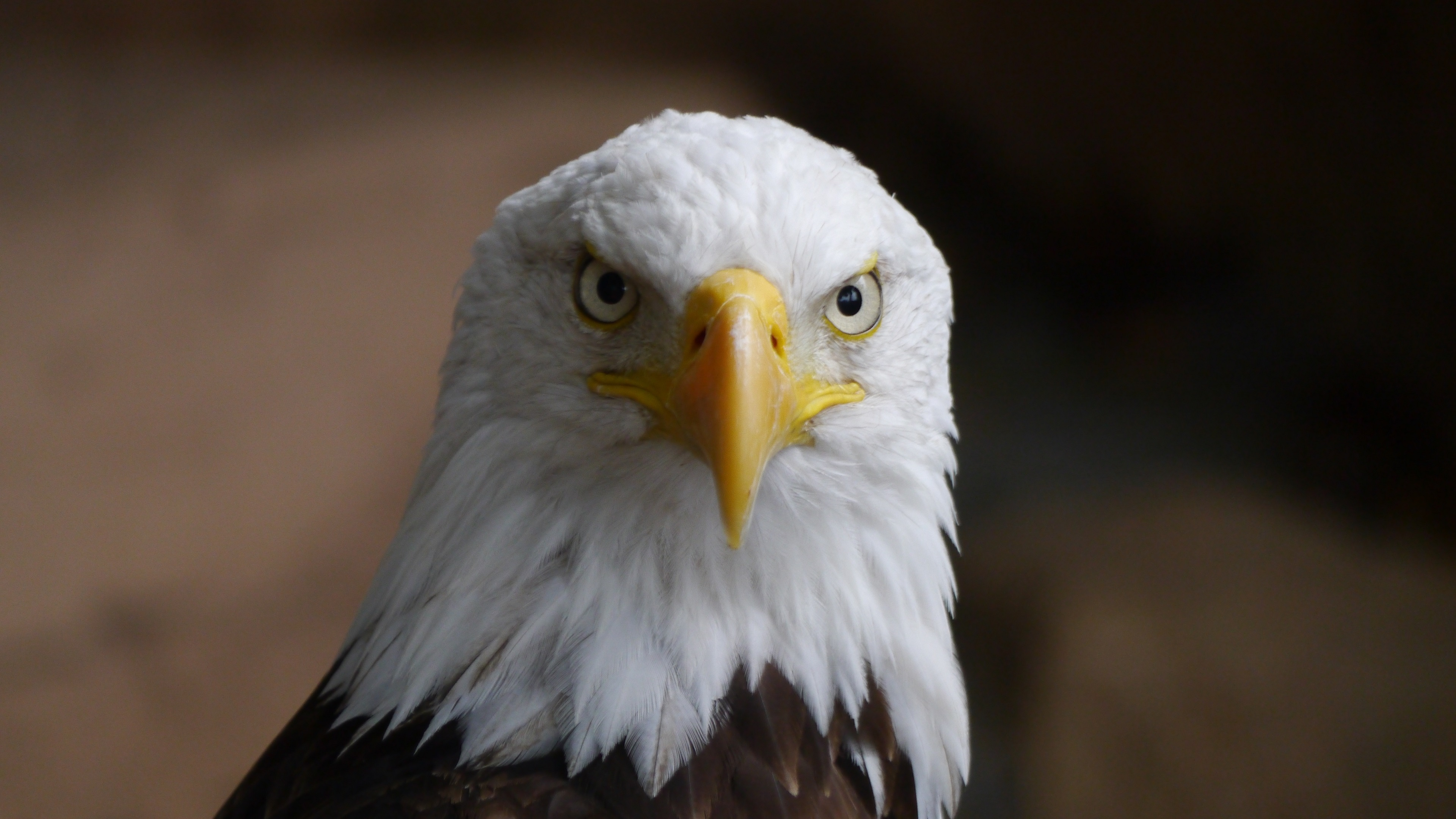 bald eagle wallpaper 4k background