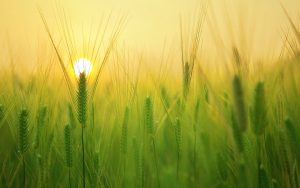 Barley Field Sunrise Wallpaper