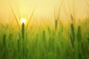 barley field sunrise wallpaper