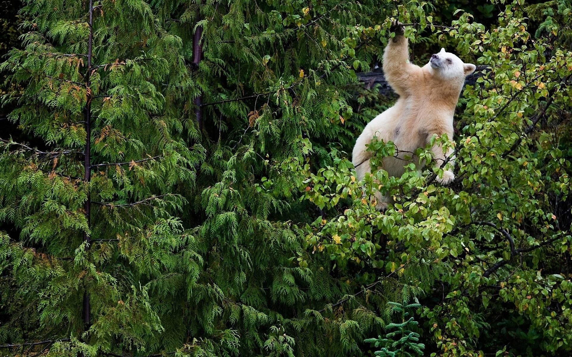 bear on tree wallpaper