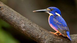 Beautiful Blue Bird Wallpaper Background
