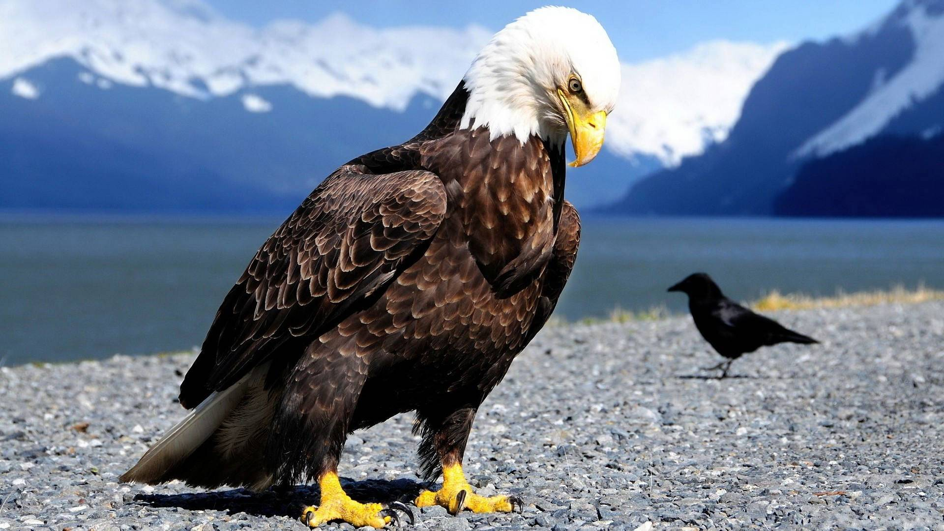 beautiful eagle wallpaper background