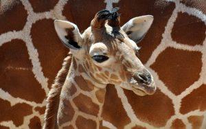 Beautiful Giraffe Baby Wallpaper