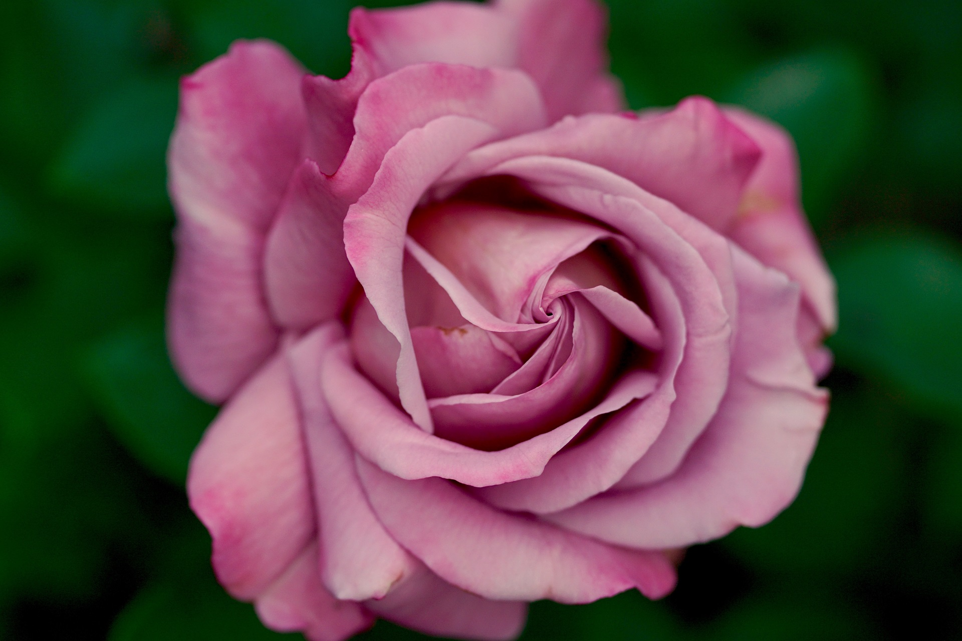 beautiful pink rose wallpaper