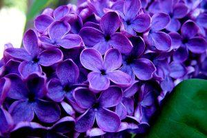 beautiful purple flowers wallpaper background, wallpapers