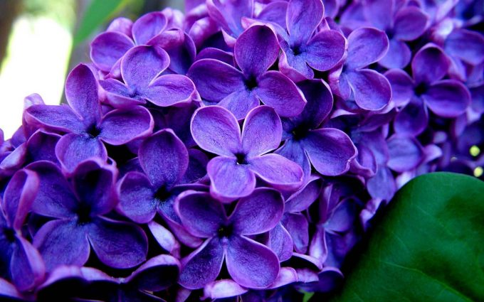 beautiful purple flowers wallpaper background, wallpapers