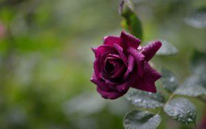 Beautiful Purple Rose Wallpaper