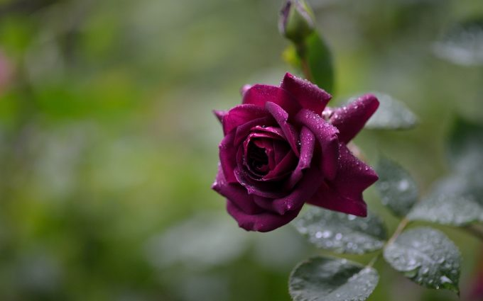beautiful purple rose wallpaper