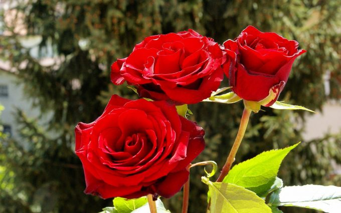 beautiful red roses wallpaper