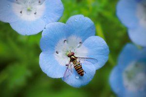 bee on blue flower wallpaper