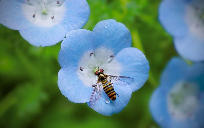 bee on blue flower wallpaper