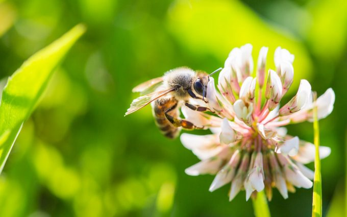bee on clover flower wallpaper background