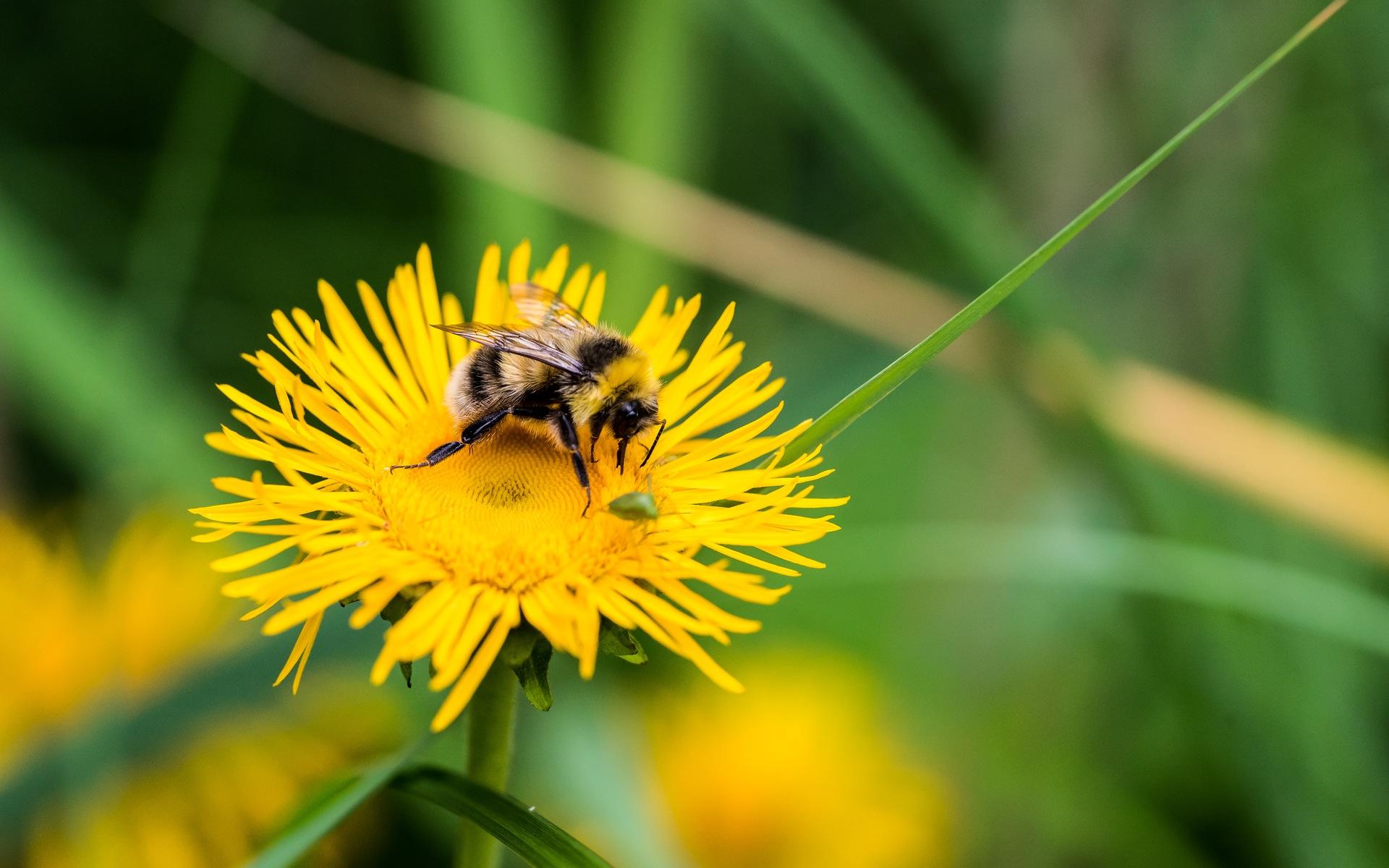 bee on yellow flower wallpaper