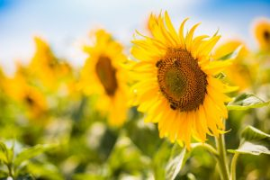 bees on sunflower wallpaper background