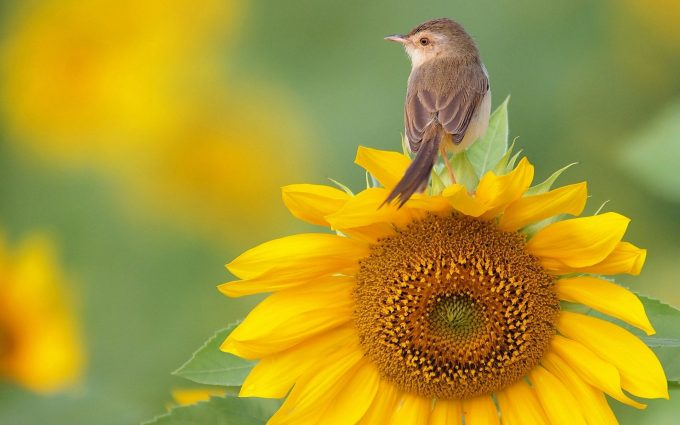 bird on sunflower wallpaper background