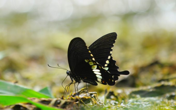 black butterfly wallpaper 4k 8k background