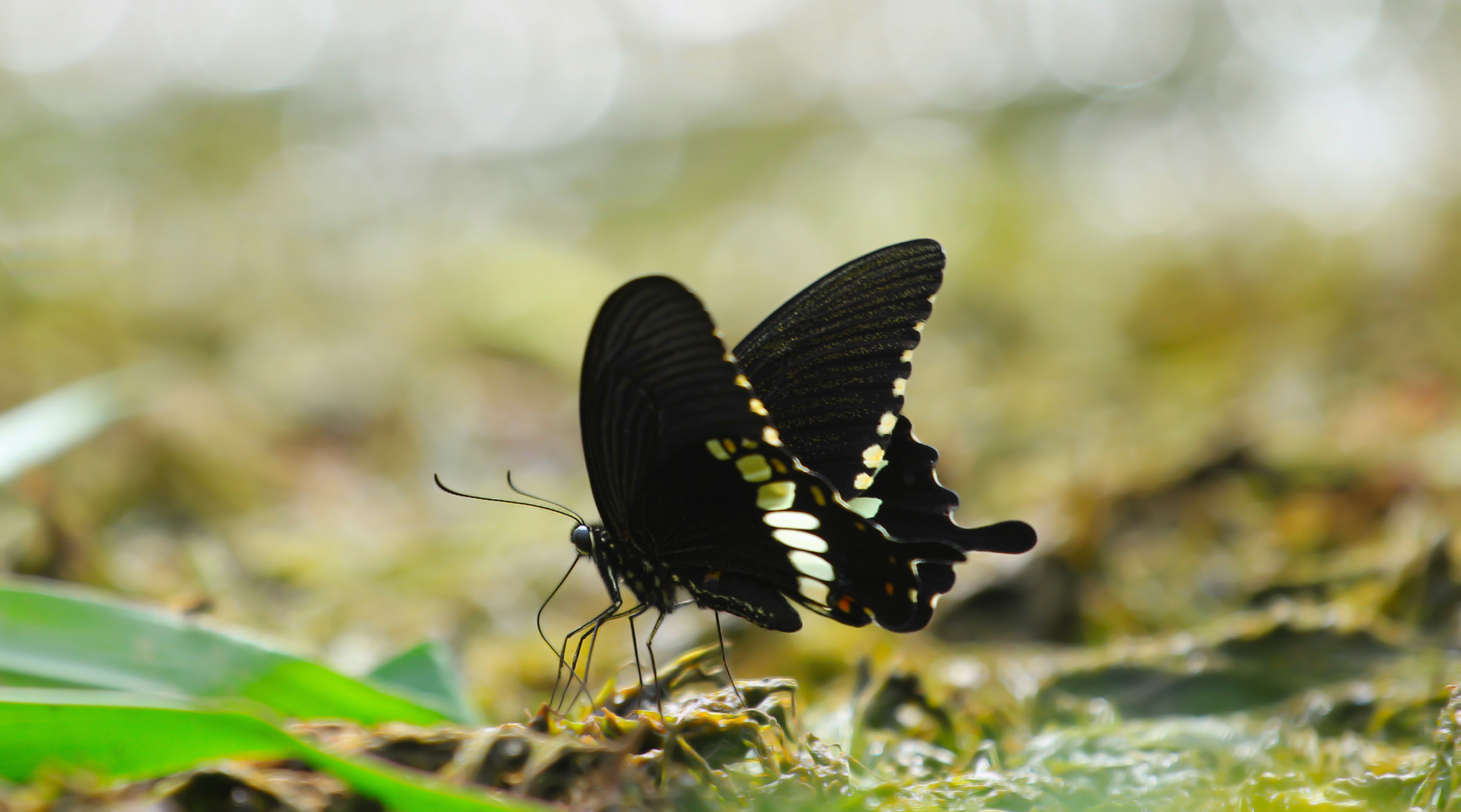 black butterfly wallpaper 4k 8k background