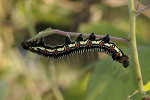 black caterpillar wallpaper background
