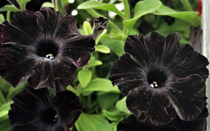 black petunia flowers 4k 5k wallpaper