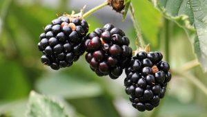 Blackberries Wallpaper Background