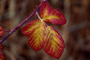Blackberry Tree Leaf 4K 5K Wallpaper