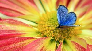 Blue Butterfly on Flower Wallpaper