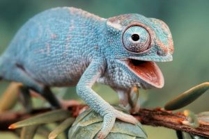 blue chameleon wallpaper background