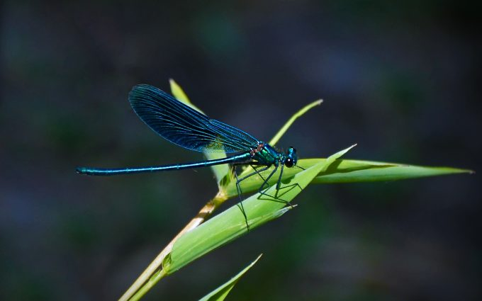 blue dragonfly wallpaper background