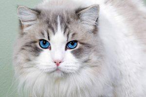 blue eyes cat wallpaper background