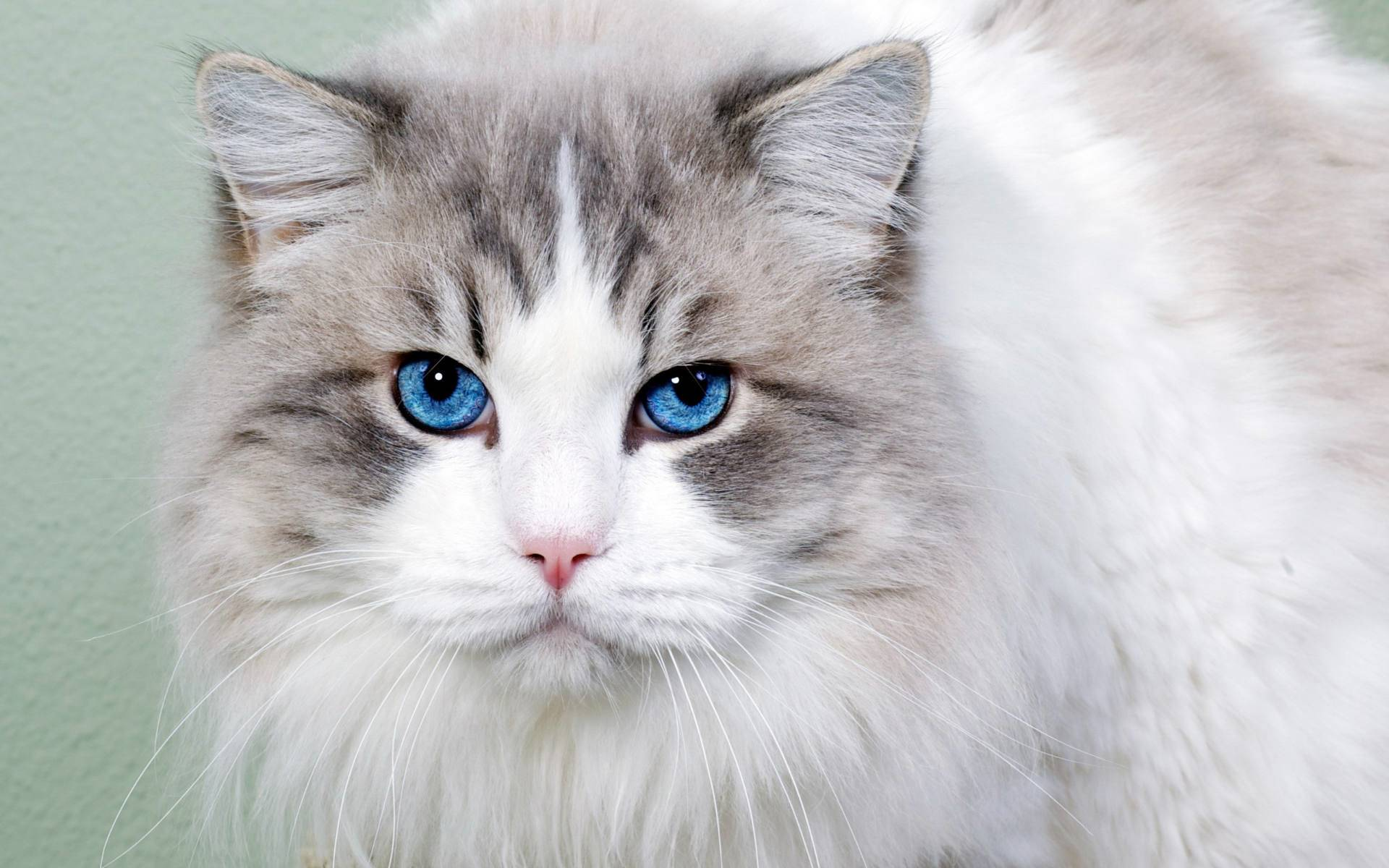 blue eyes cat wallpaper background