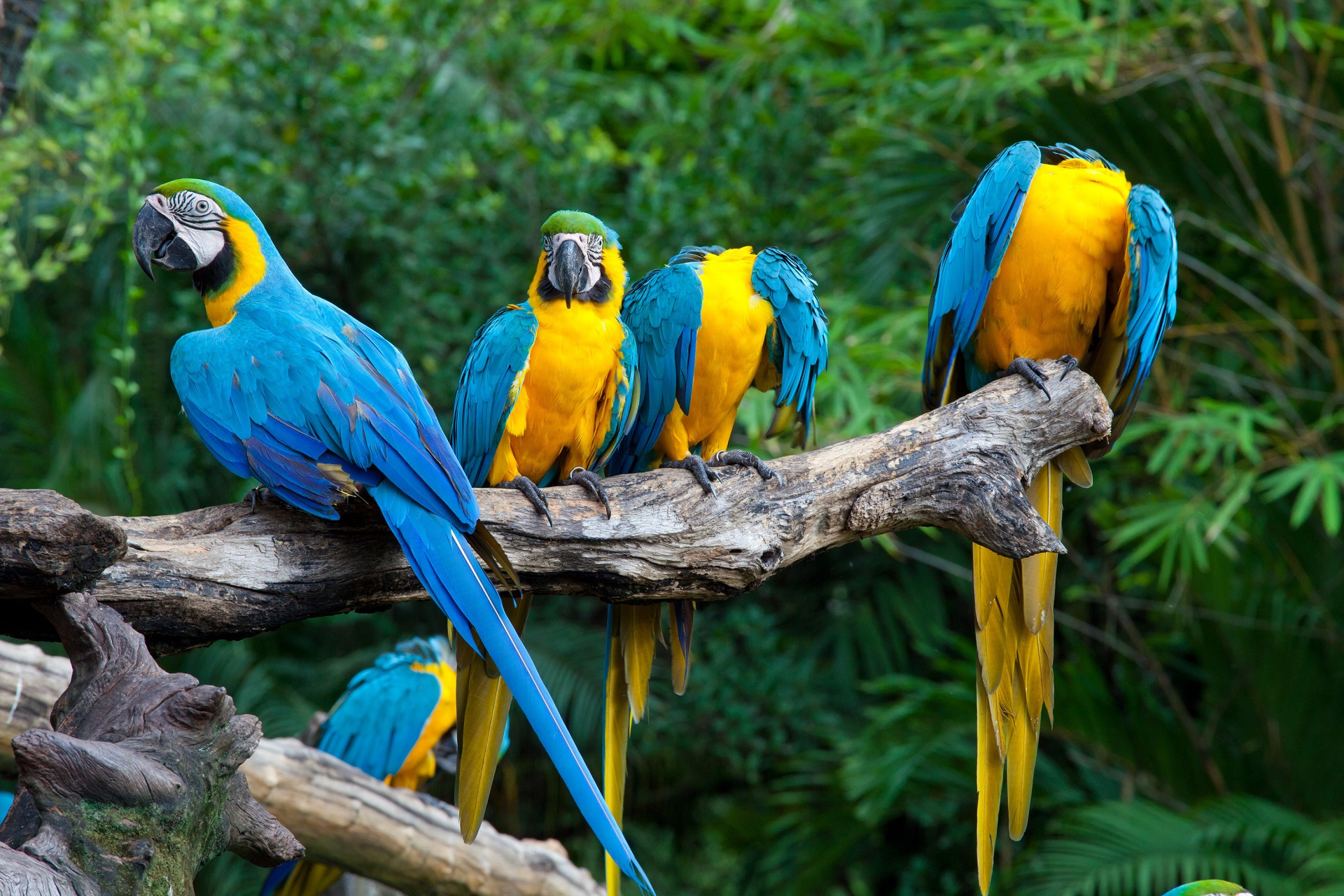 blue parrots wallpaper background images wallpapers