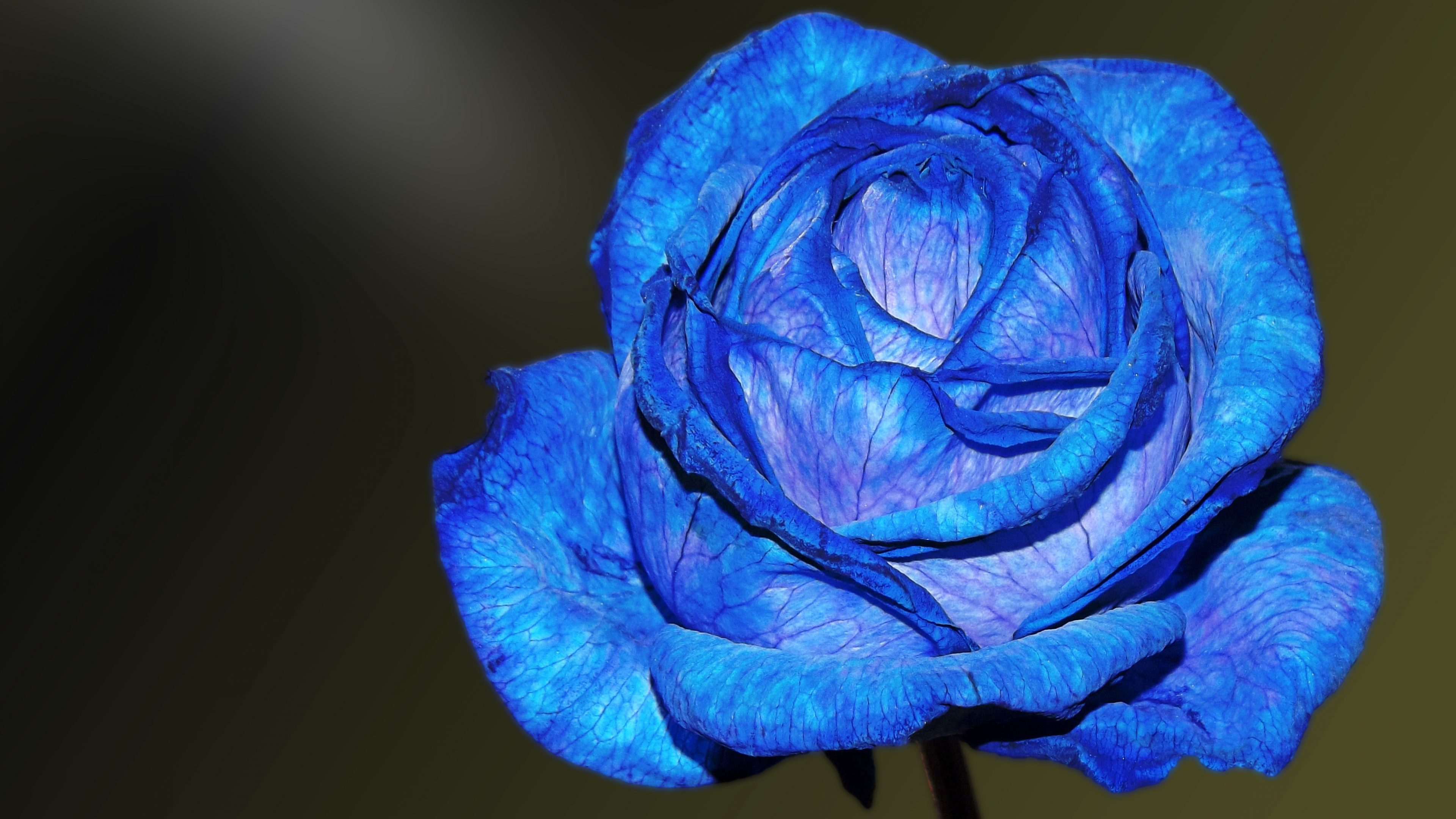 Blue Rose Wallpaper 4k Background Hd Wallpaper Background
