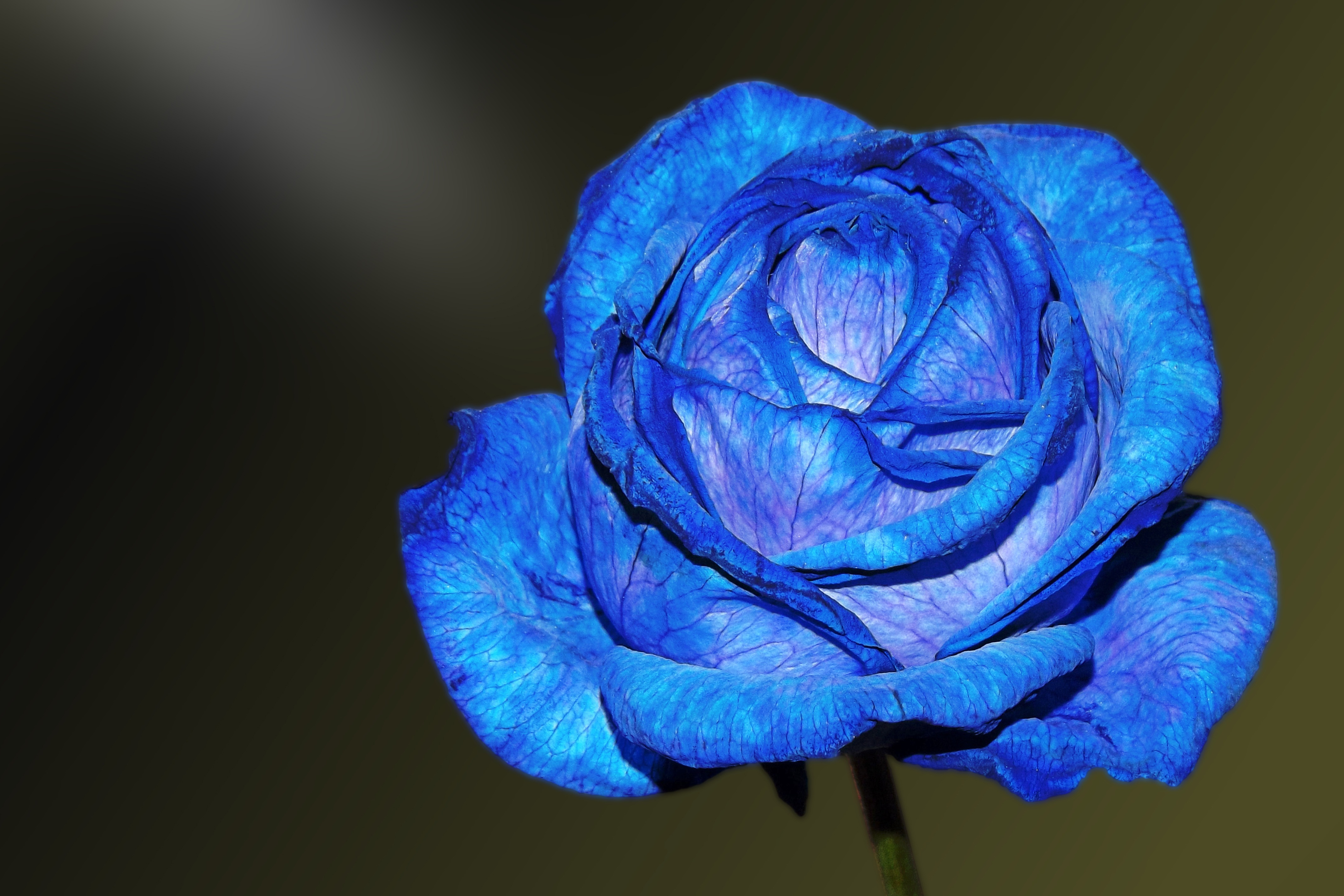 blue rose wallpaper 4k background