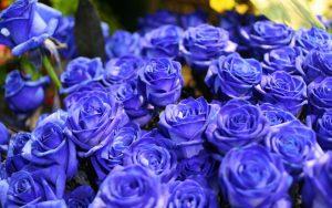 Blue Roses Wallpaper Background