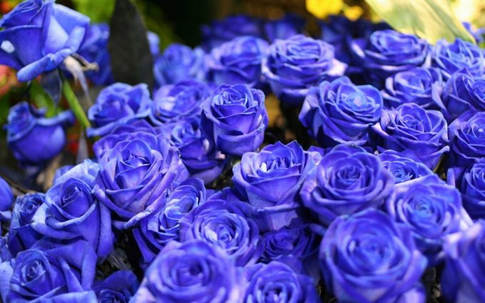 blue roses wallpaper background