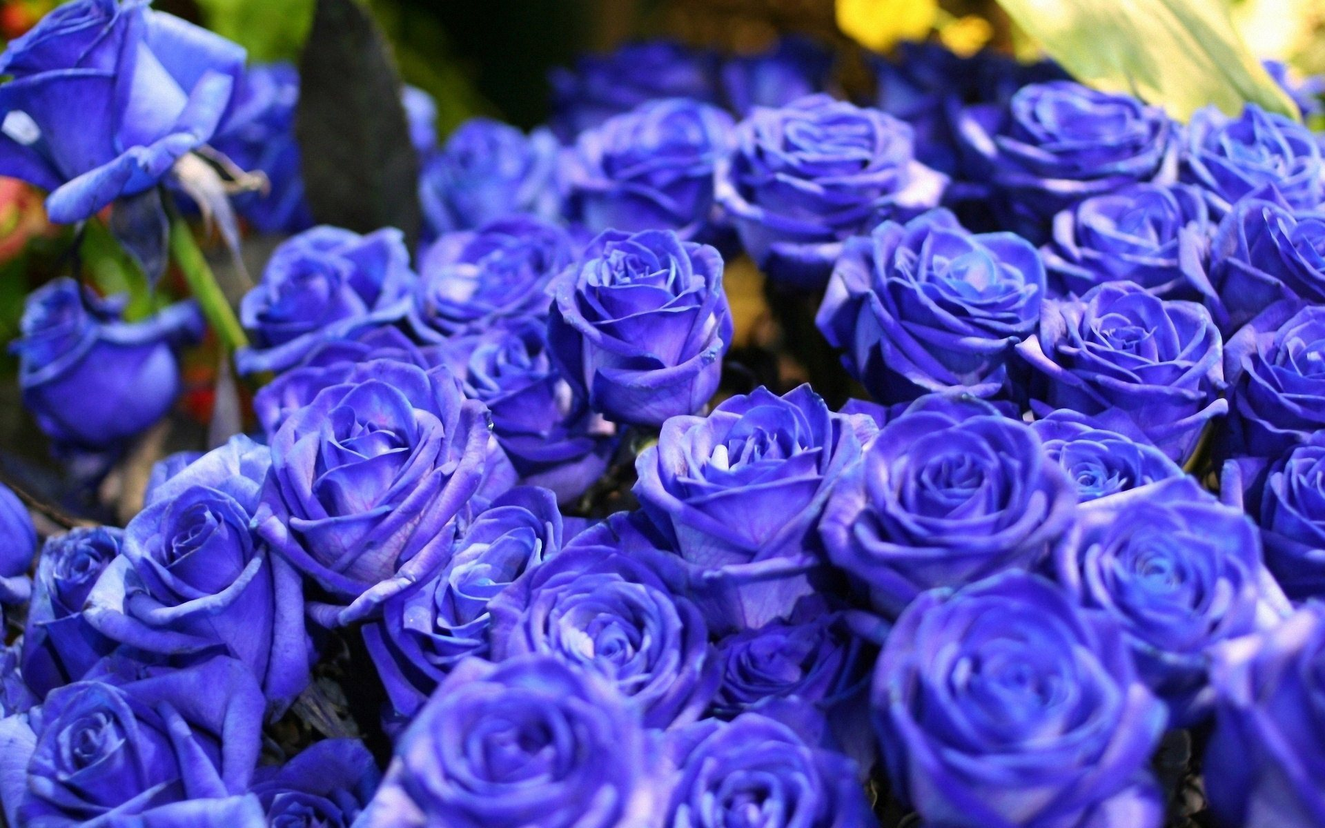 blue roses wallpaper background | hd wallpaper background