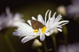 Brown Butterfly on White Flower Wallpaper
