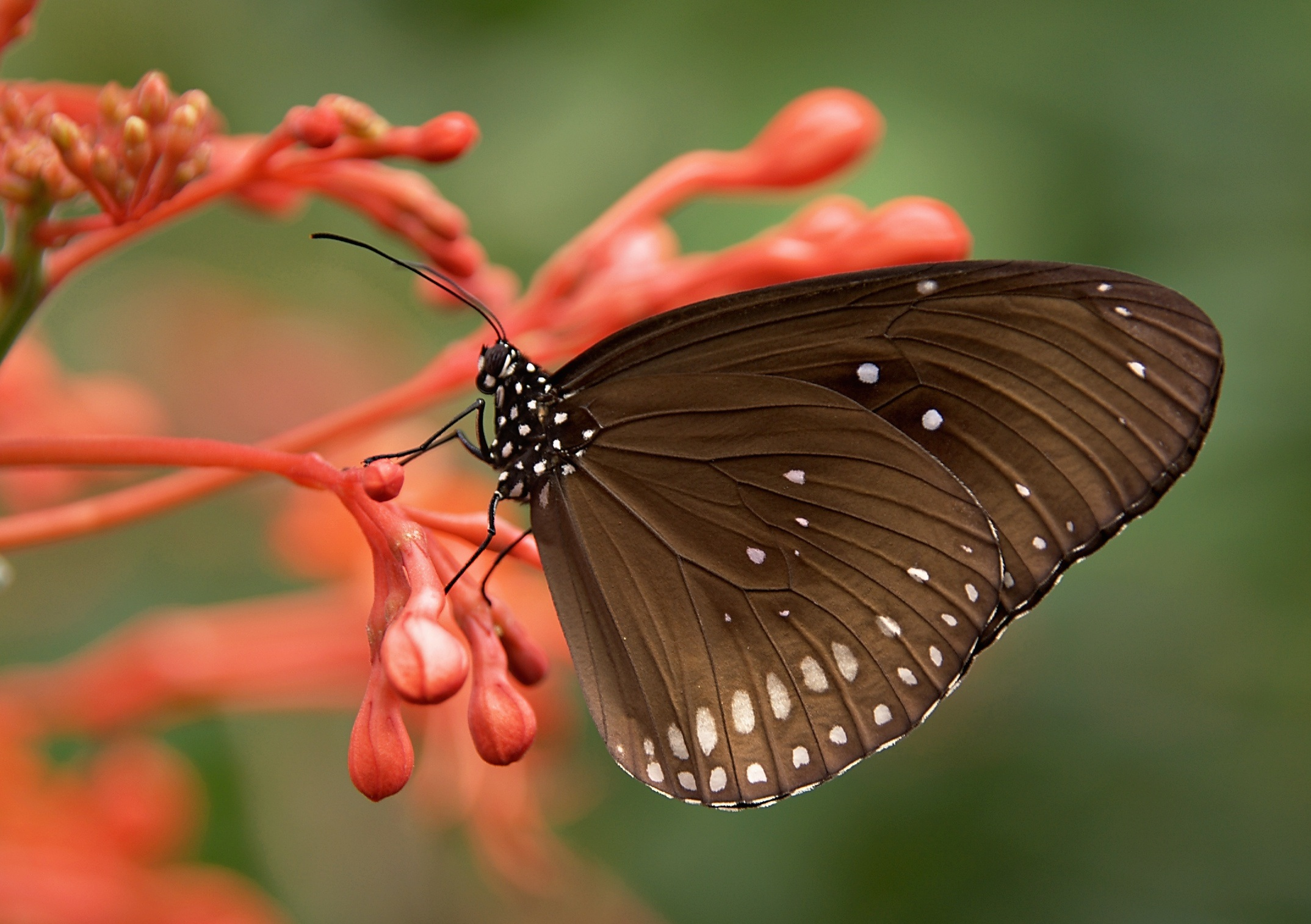 brown butterfly wallpaper background