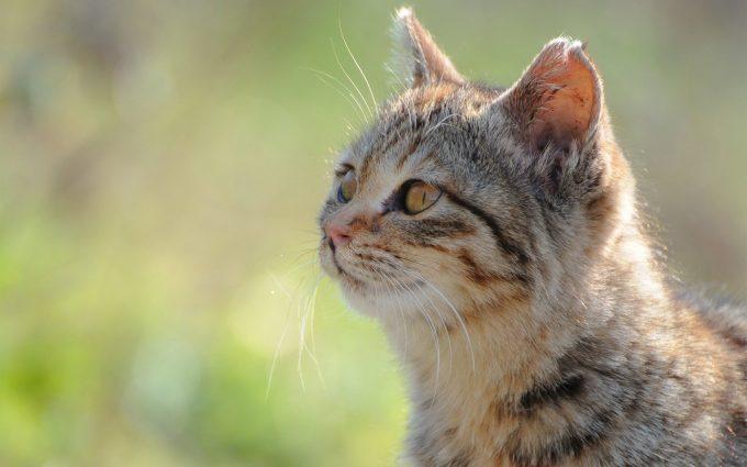 brown eyes cat wallpaper