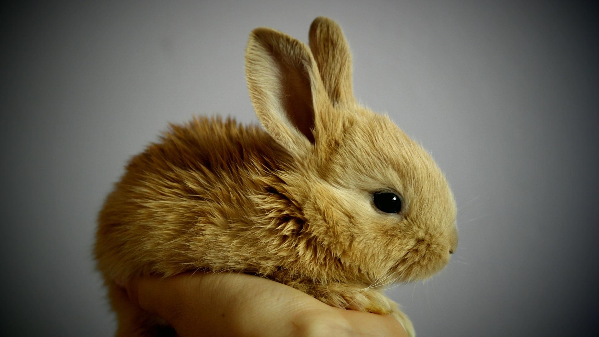 brown rabbit wallpaper background