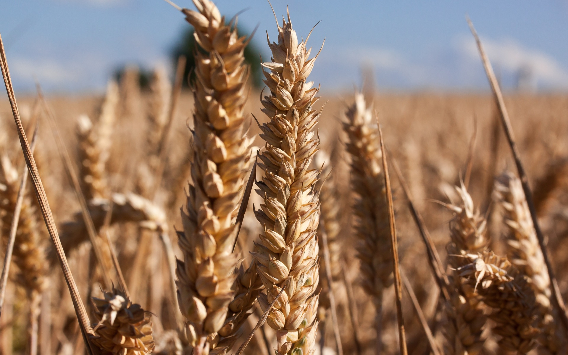 brown wheat close up wallpaper background