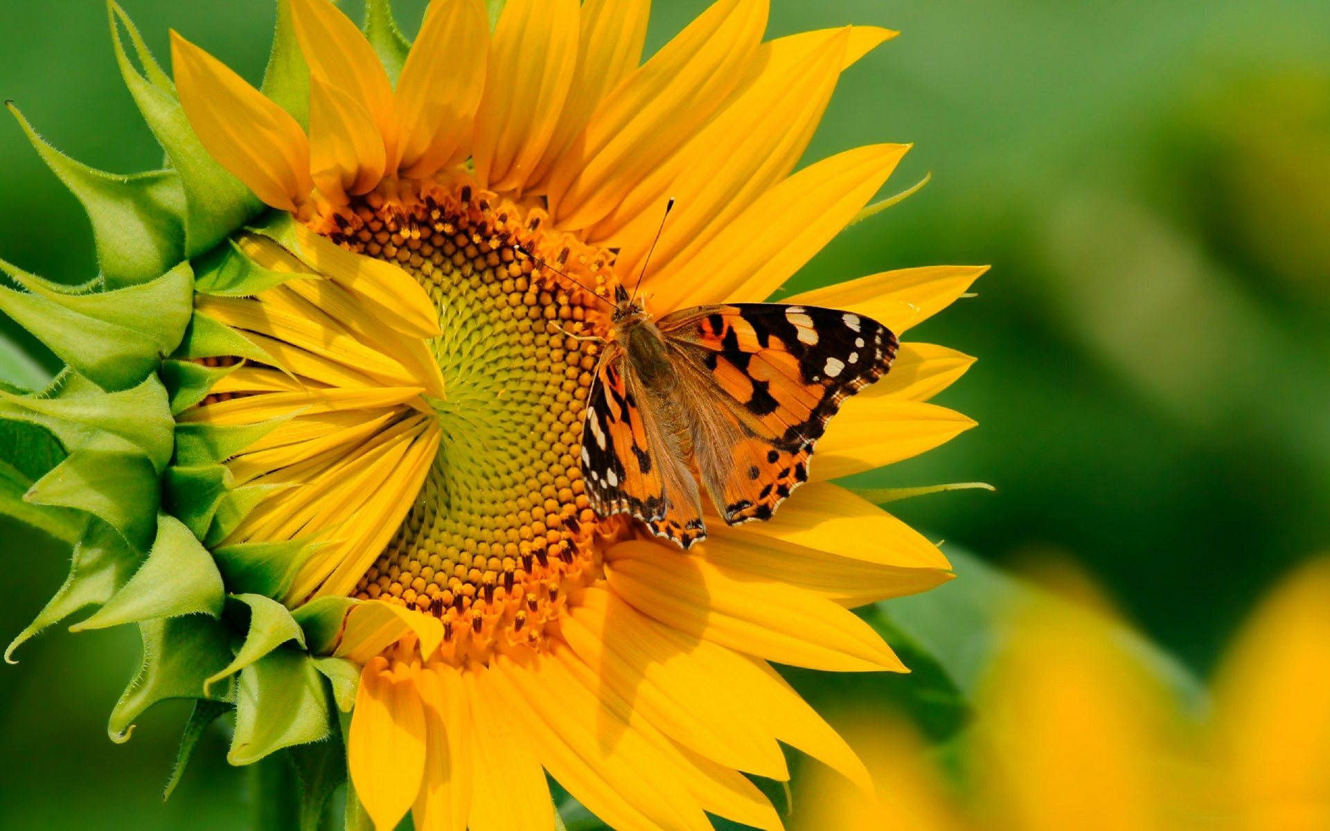 butterfly on sunflower wallpaper background