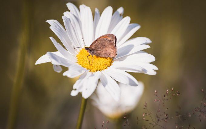 butterfly on white flower wallpaper background